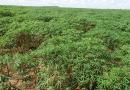 """Solução para terras arenosas, mandioca """"afofa"""" o solo para a soja no sul do MS"""