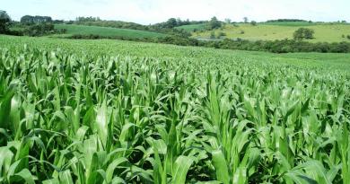 Milho segunda safra corre riscos? Confira a previsão do tempo