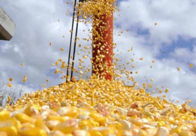 Milho brasileiro ganha força e ameaça domínio dos EUA em exportações
