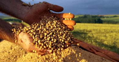 soja semente