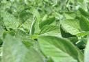 Análise foliar pode apontar caminho para recuperar produtividade da lavoura