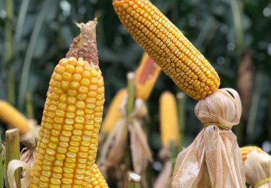 Preço do milho fecha a quinta-feira desvalorizado no Brasil