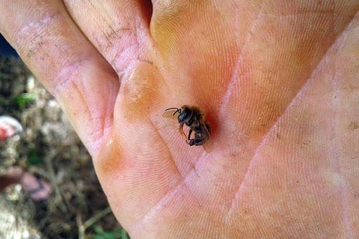 Mau uso de agrotóxico dizima abelhas de 40 caixas em Turvo