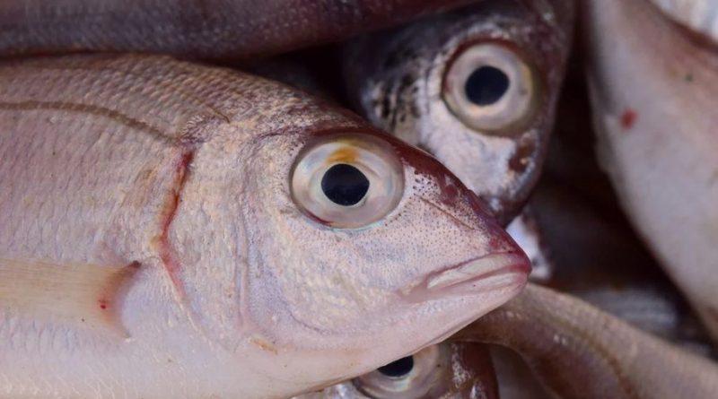Entenda o que é a 'doença da urina preta' causada por ingestão de peixe contaminado